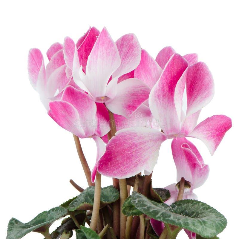Beautiful pink Cyclamen flower royalty free stock photography
