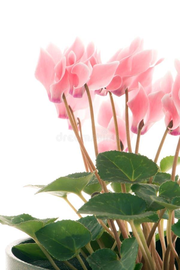 Beautiful pink Cyclamen flower stock photography