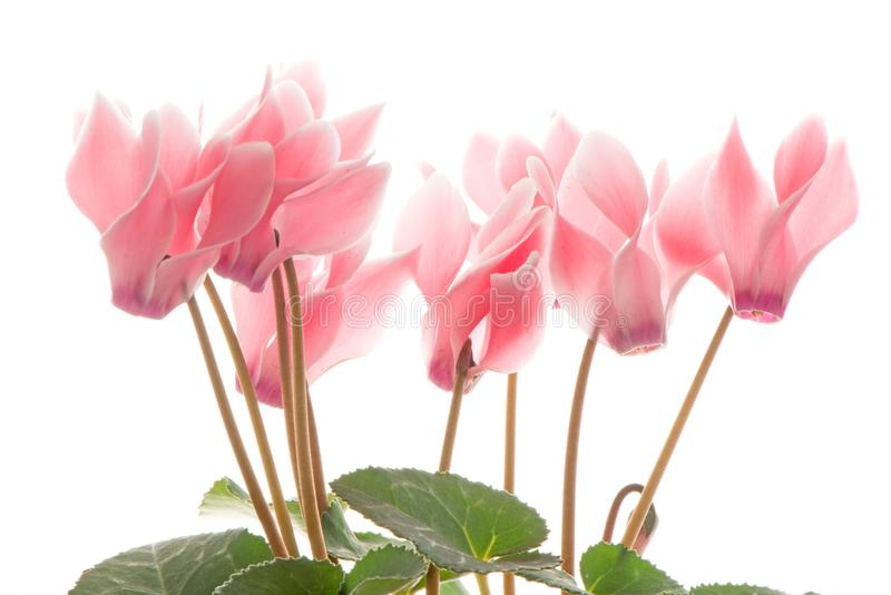 Beautiful pink Cyclamen flower royalty free stock image