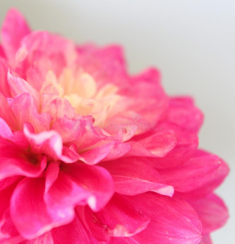 A beautiful pink dahlia royalty free stock photo