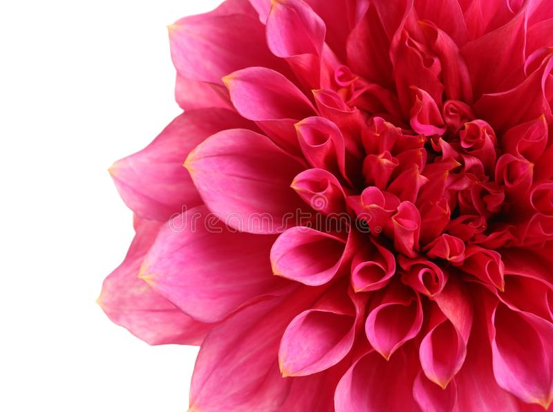 Beautiful pink dahlia flower on white background stock photos