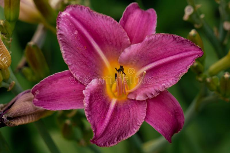 Beautiful pink day lily flower head against a green bokeh background stock photos