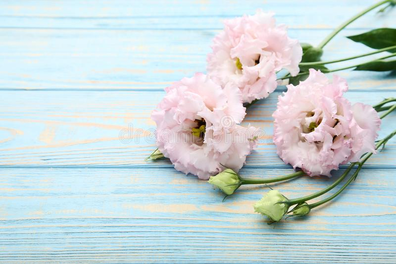 Pink eustoma flowers royalty free stock photos
