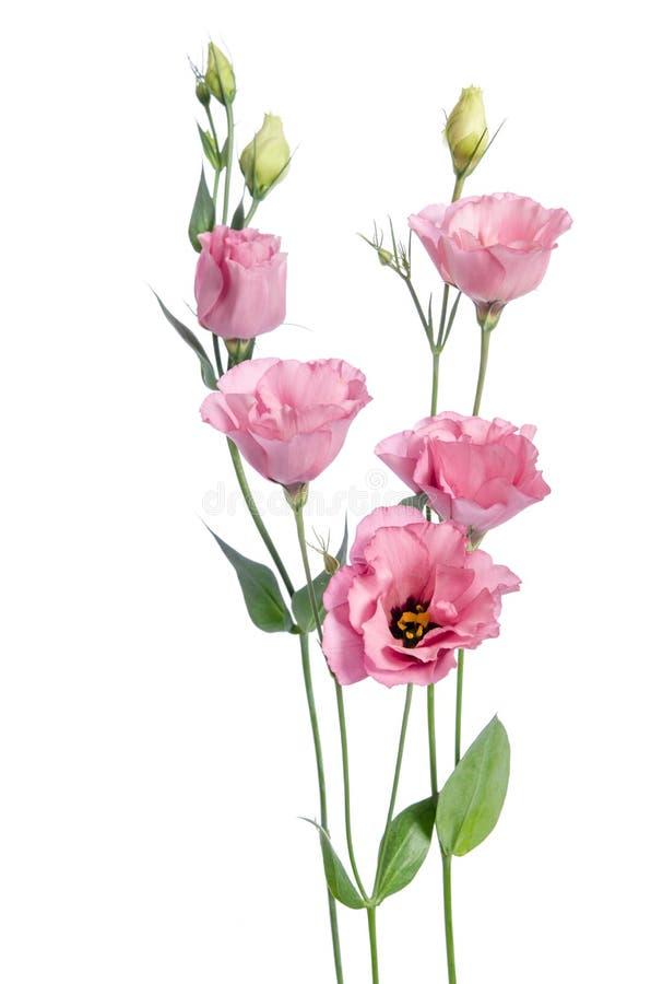 Beautiful pink eustoma flowers. On white background stock photo