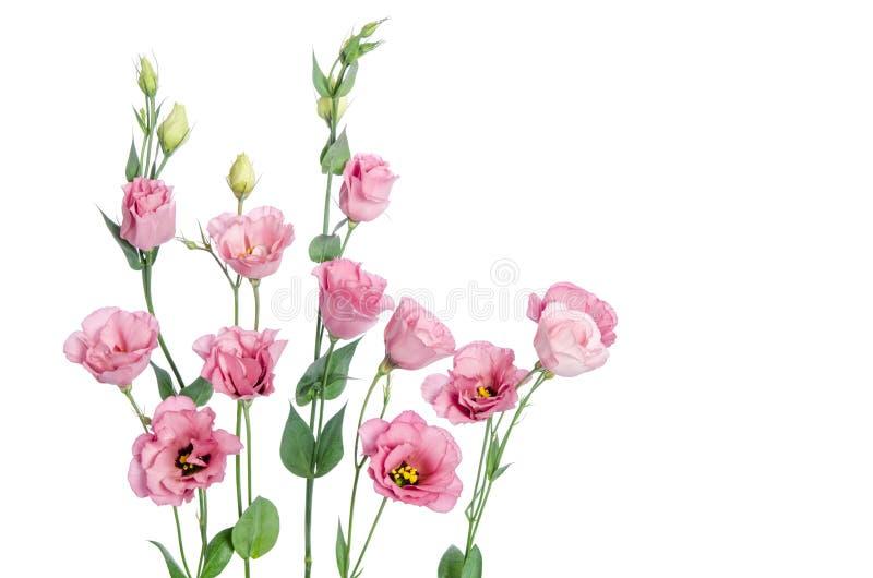 Beautiful pink eustoma flowers stock images