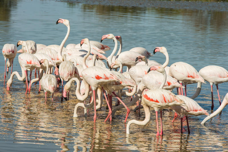 Beautiful pink flamingo birds in Camargue national park in France. Beautiful pink flamingo birds during feeding time in Camargue national park in France stock photography