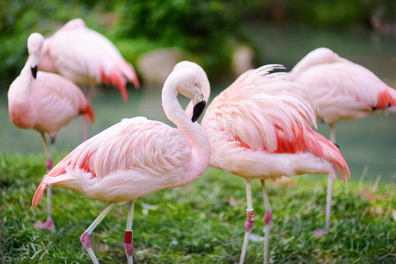 Beautiful pink flamingo birds in a zoo royalty free stock image