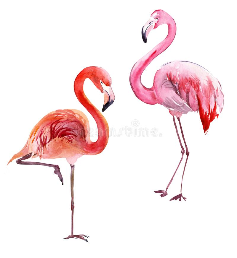 Beautiful pink flamingo isolated on white background. Couple of exotic birds. Watercolor painting. royalty free illustration