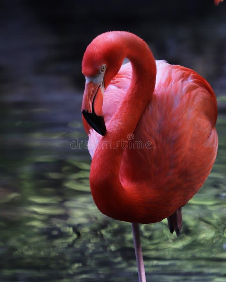 Beautiful pink Flamingo. Wading in reflective water royalty free stock image