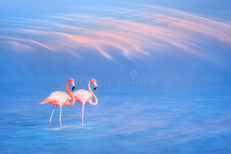 Beautiful pink flamingos on the water surface against the blue sky and pink clouds. royalty free stock image