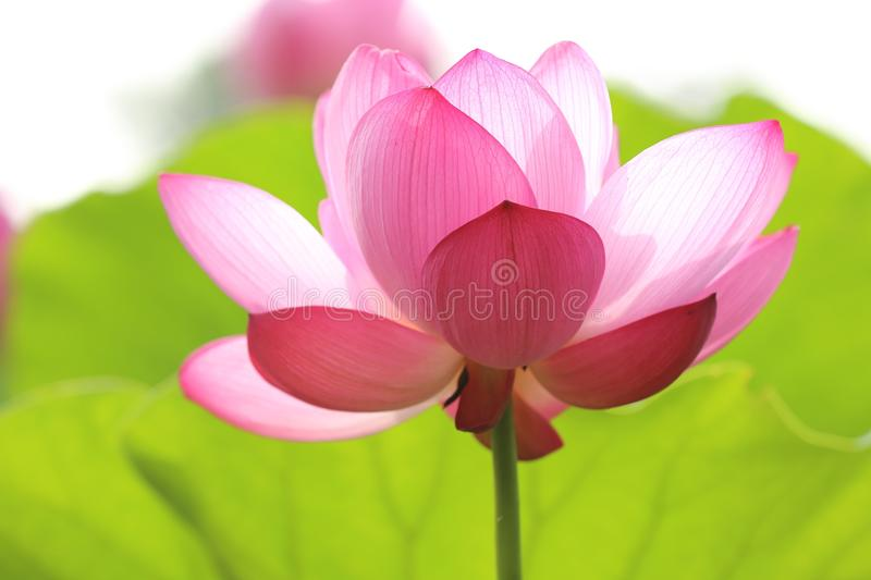 Beautiful Pink Flower In Bloom Free Public Domain Cc0 Image