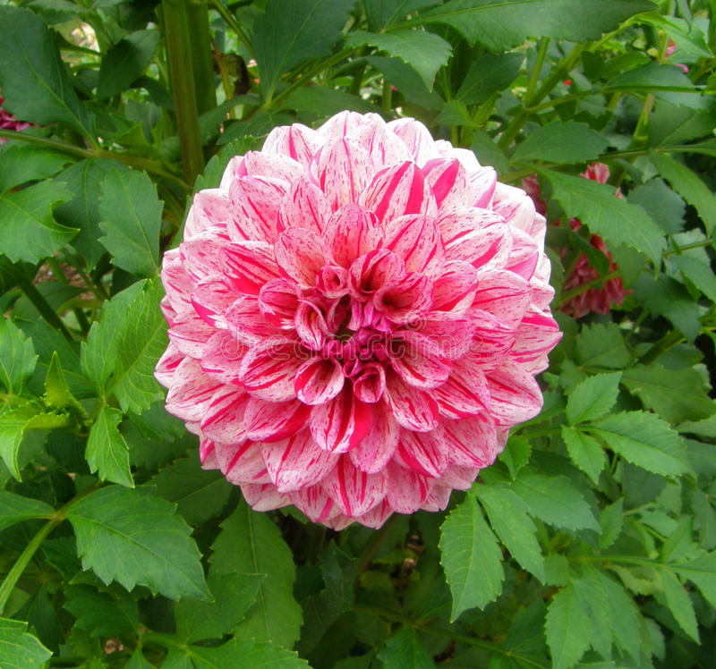 Beautiful Pink Flower/Botanical Gardens royalty free stock photos