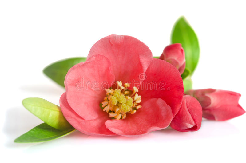 Beautiful pink flower with buds royalty free stock photography