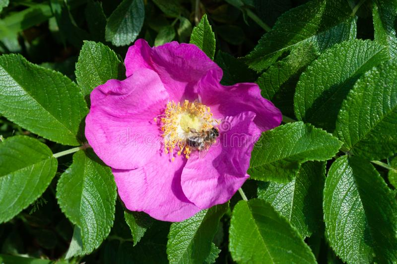Beautiful pink flower of a dog rose, on it the bee sits. Sunny day stock photos