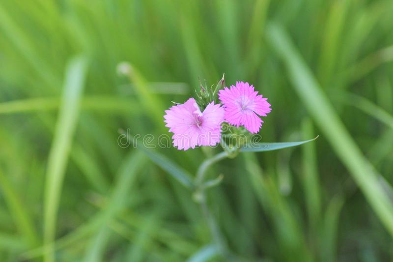 The beautiful pink flower in the field. This photo is made in a field near Greve in Chianti, Tuscany, Italy stock image