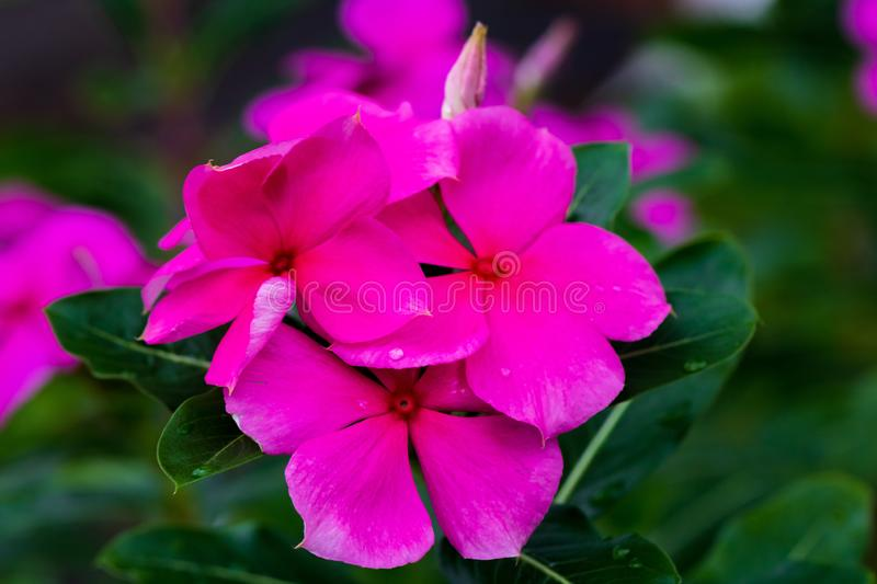 Beautiful pink flower in the garden that inspires love and passion. Valentines Day stock image