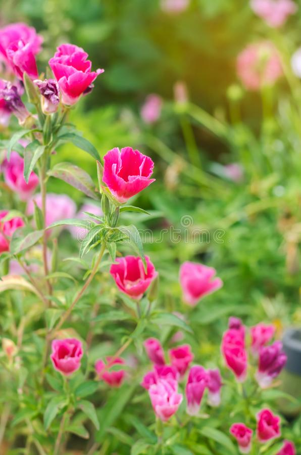 The beautiful pink flower of Godetia Clarkia grows in a garden on a sunny day. Summer flowers. Natural wallpaper. Soft selective royalty free stock photography