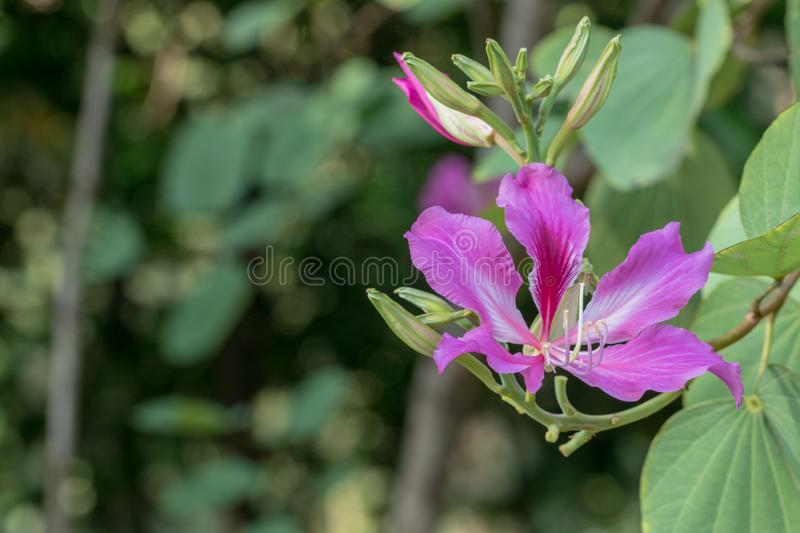 Beautiful pink flower name Purple Orchid Tree, butterfly tree in nature background. stock photography