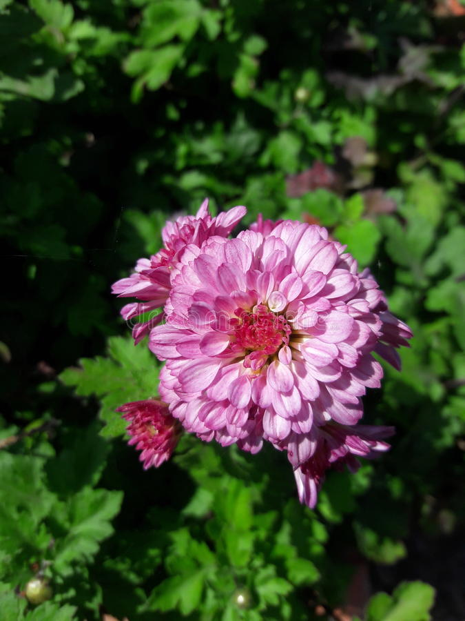 Beautiful Pink Flower stock images