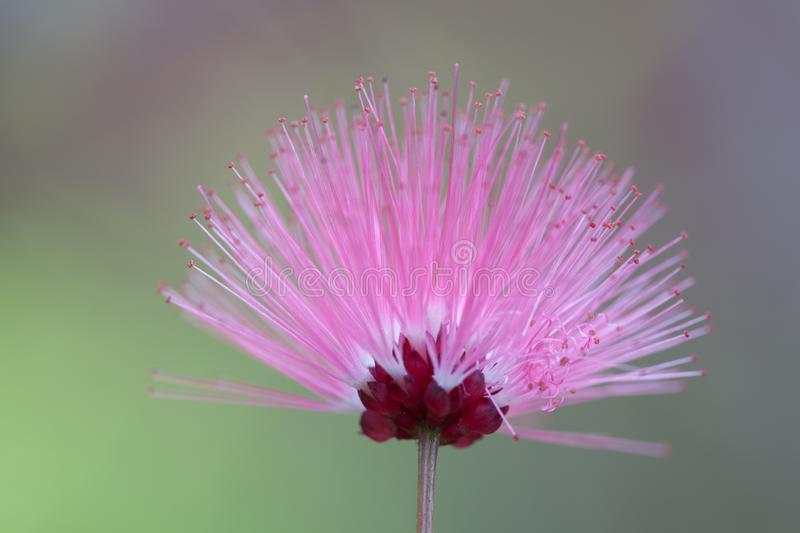 A beautiful of pink flower in nature on soft background royalty free stock photo