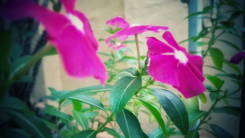 Beautiful pink flower photo background royalty free stock photography