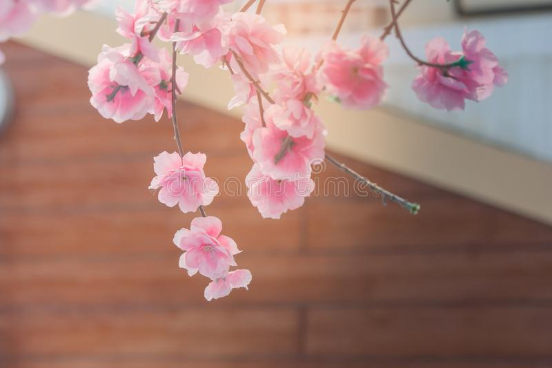 Beautiful pink flower or sakura flower blossom with brown wall of buildings in the background. Soft focus stock images