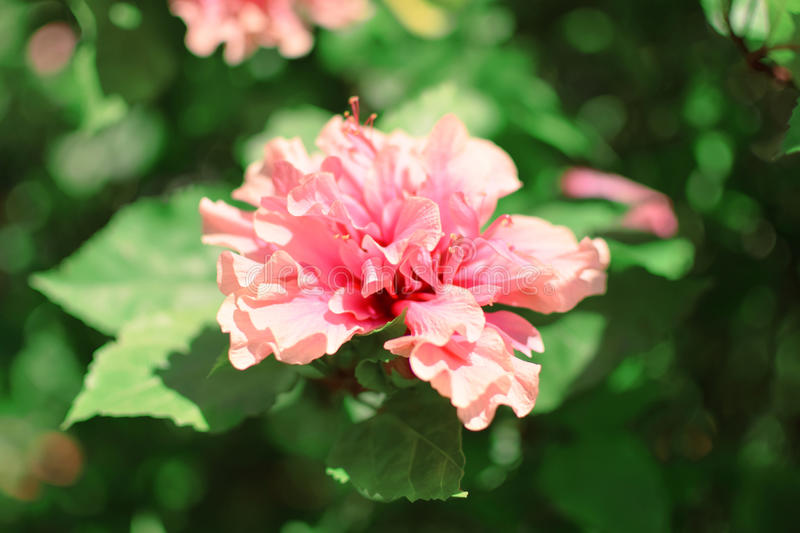 Beautiful pink flower and sunshine royalty free stock photos