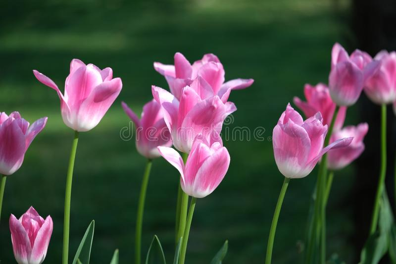 Beautiful pink flower tulips lit by sunlight. Soft selective focus. Close up. Background of spring flower tulips royalty free stock photo