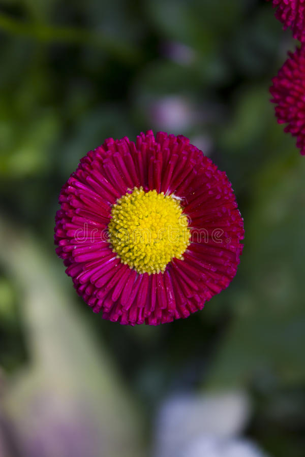 Beautiful Pink Flower With Yellow Center Stock Image