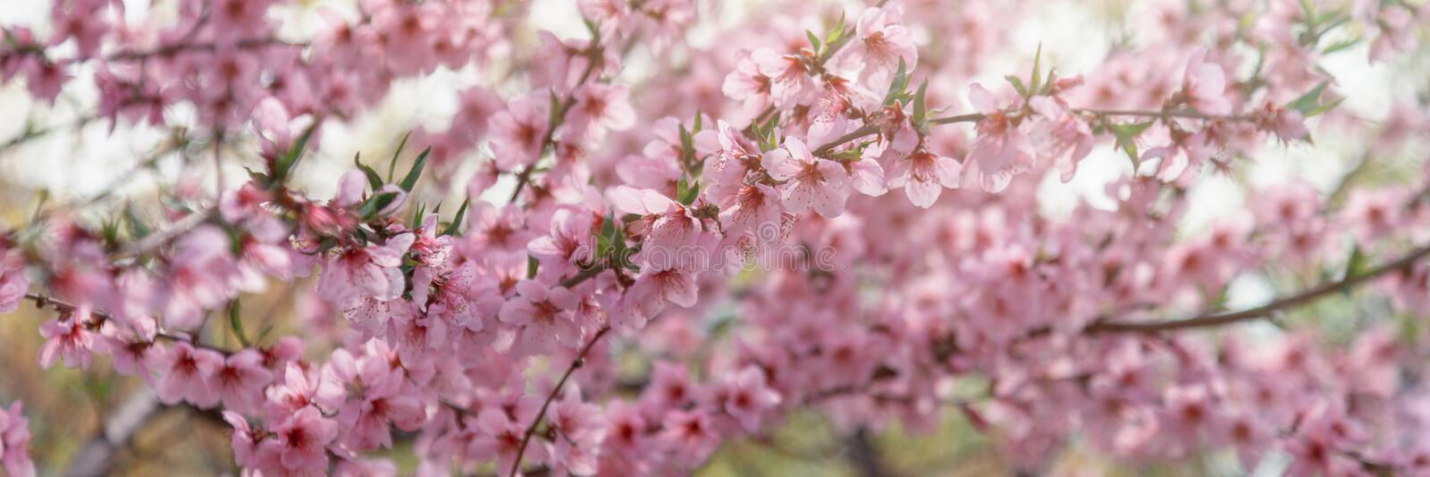 Beautiful pink flowering tree bright spring floral background and texture stock image