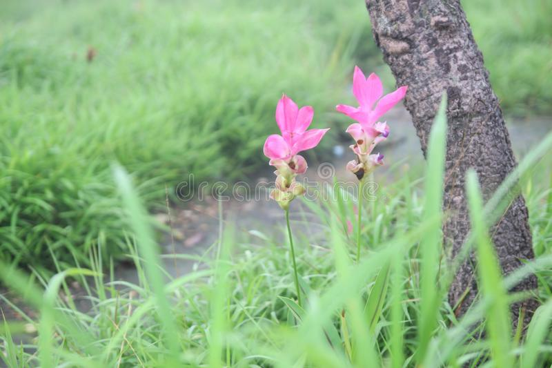 Beautiful pink flowers bloom in the rain forest Curcuma sessilis Gage , Curcuma sessilis , Siam Tulip royalty free stock images