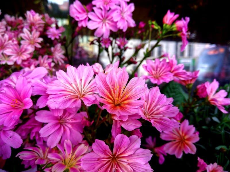 Beautiful pink flowers royalty free stock image