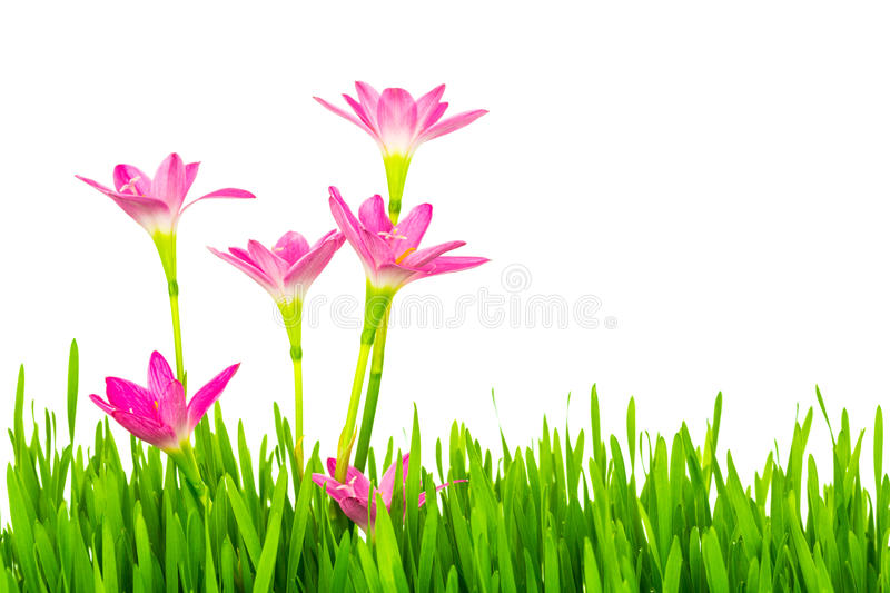 Beautiful pink flowers and fresh spring green grass isolated on. Beautiful pink flowers and fresh spring green grass isolated stock photography