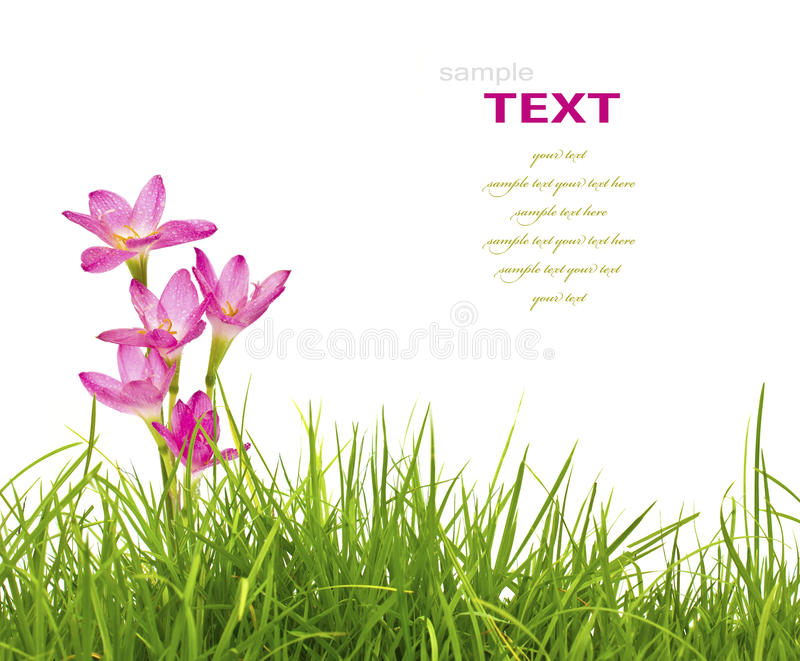 Beautiful pink flowers and fresh spring green grass isolated stock image