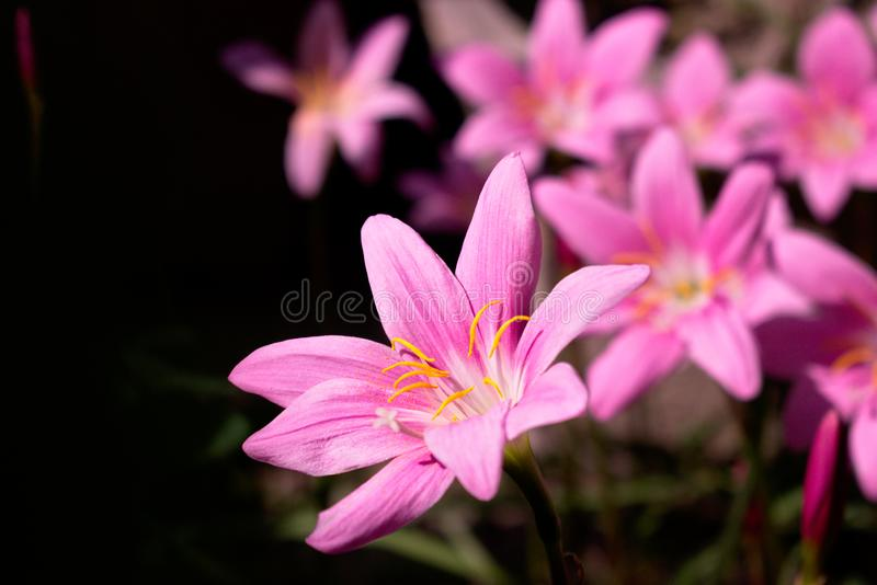Beautiful pink flowers in the garden white centre stock image