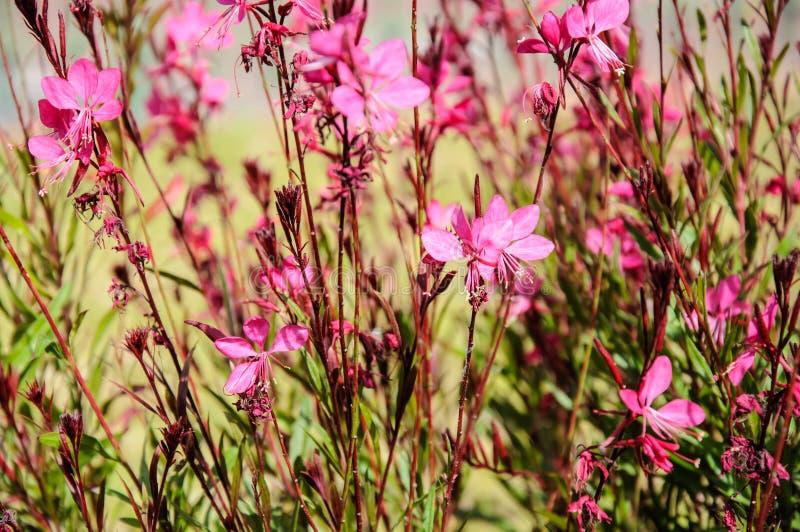 Beautiful pink flowers (Gaura lindheimeri) royalty free stock photos