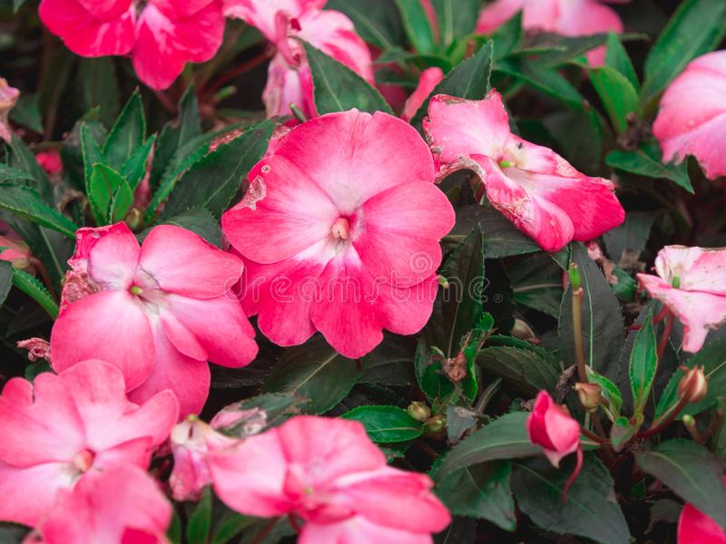 Beautiful pink flowers with green leaves in the garden have some disease problem. royalty free stock images