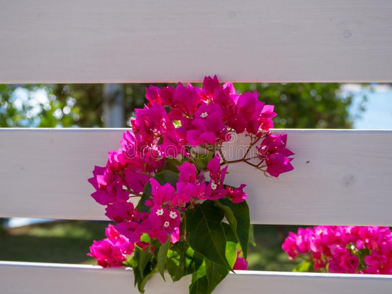 Beautiful pink flowers growing through white wood fence royalty free stock photo