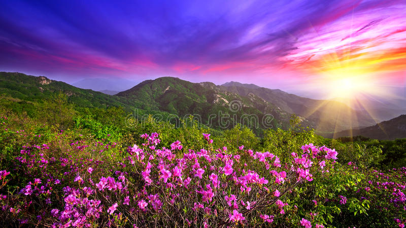Beautiful pink flowers on mountains at sunset, Hwangmaesan mountain in Korea. Beautiful pink flowers on mountains at sunset, Hwangmaesan mountain in South Korea stock images