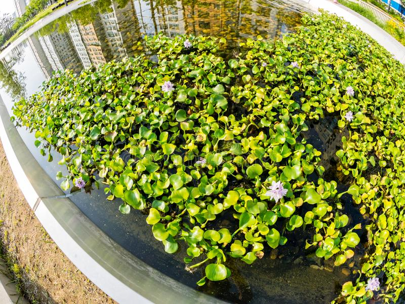 Beautiful pink flowers in a pond in Seoul Park. Skyscrapers are reflected in the water. Fisheye lens image royalty free stock photos