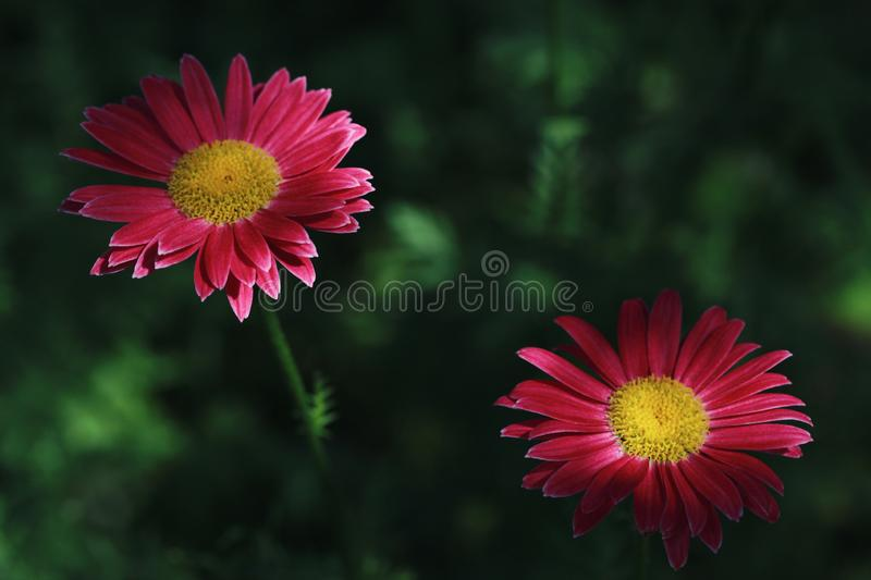 Beautiful pink flowers pyrethrum daisy in the shade on a dark green background. Feverfew, painted daisy closeup, macro royalty free stock image