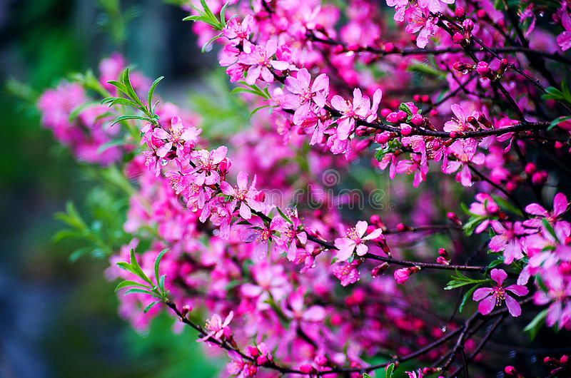 Beautiful pink flowers spring blossoms royalty free stock photography