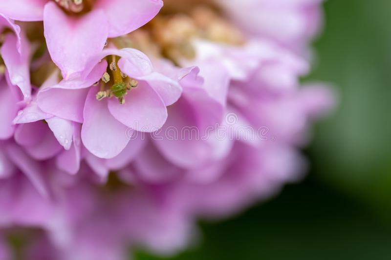 Beautiful pink flowers in springtime. Macro and copy space. stock photography