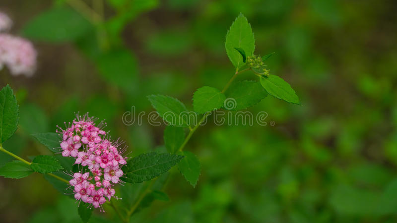 Beautiful pink flowers in summer stock images