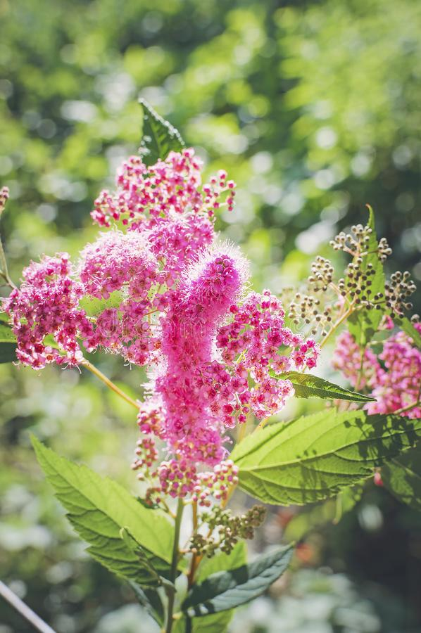Beautiful pink flowers in sunlight. Closeup, selective focus. Beautiful background. Vertical photography. Beautiful pink flowers in sunlight. Close up, selective stock photos