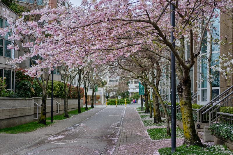 Beautiful pink flowers on trees. Spring season in Vancouver streets. Canada royalty free stock photography