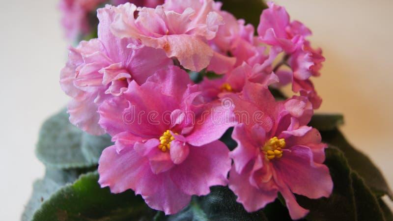 Beautiful Pink flowers royalty free stock photos