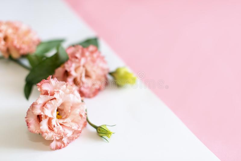 Beautiful pink flowers on white pink background with frame, eustoma royalty free stock images