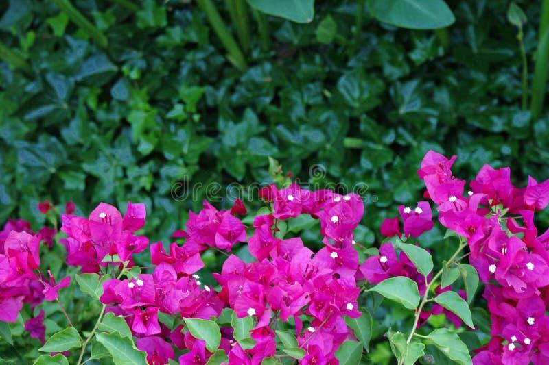 Beautiful pink fuchsia bougainvillea between a black wrought iron railing stock images