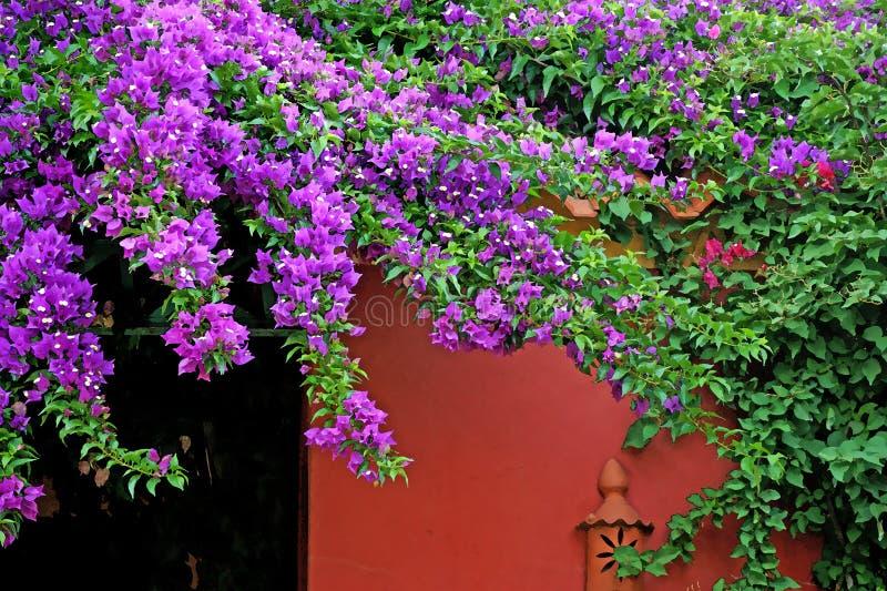 Beautiful pink fuchsia bougainvillea and red wall stock image